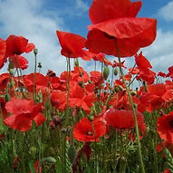 PoppyField_web_edited.jpg