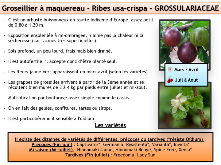 groseillier_à_maquereau.001.jpeg