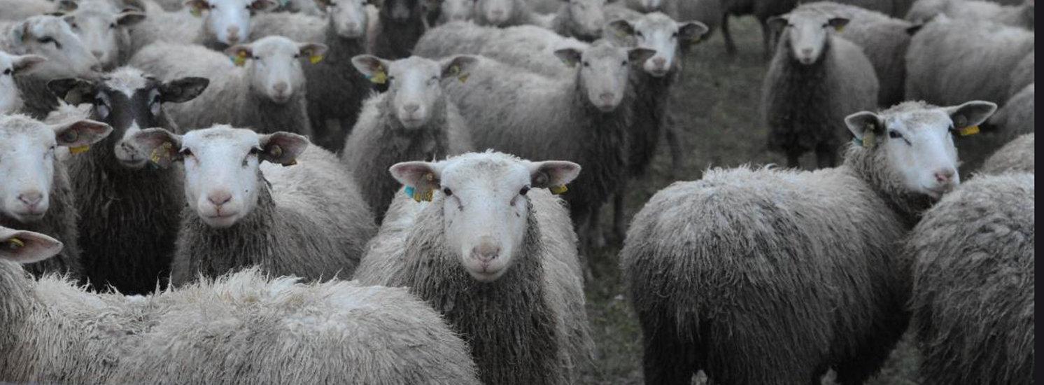 MoutonsDansL'Aube.jpg