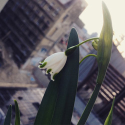 Instagram - Märzglöckchen