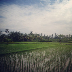 Instagram - Ubud Rice Fields