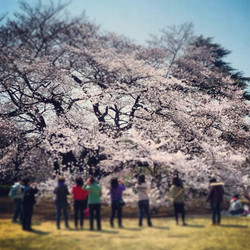 Cherry Blossoms, Tokyo
