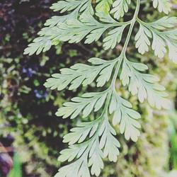 #ferns #madaboutmadeira #nature