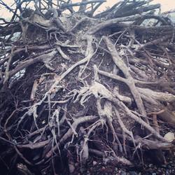 Instagram - tree roots