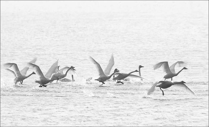 swan lake_005.jpg