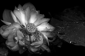 lotus_003.jpg