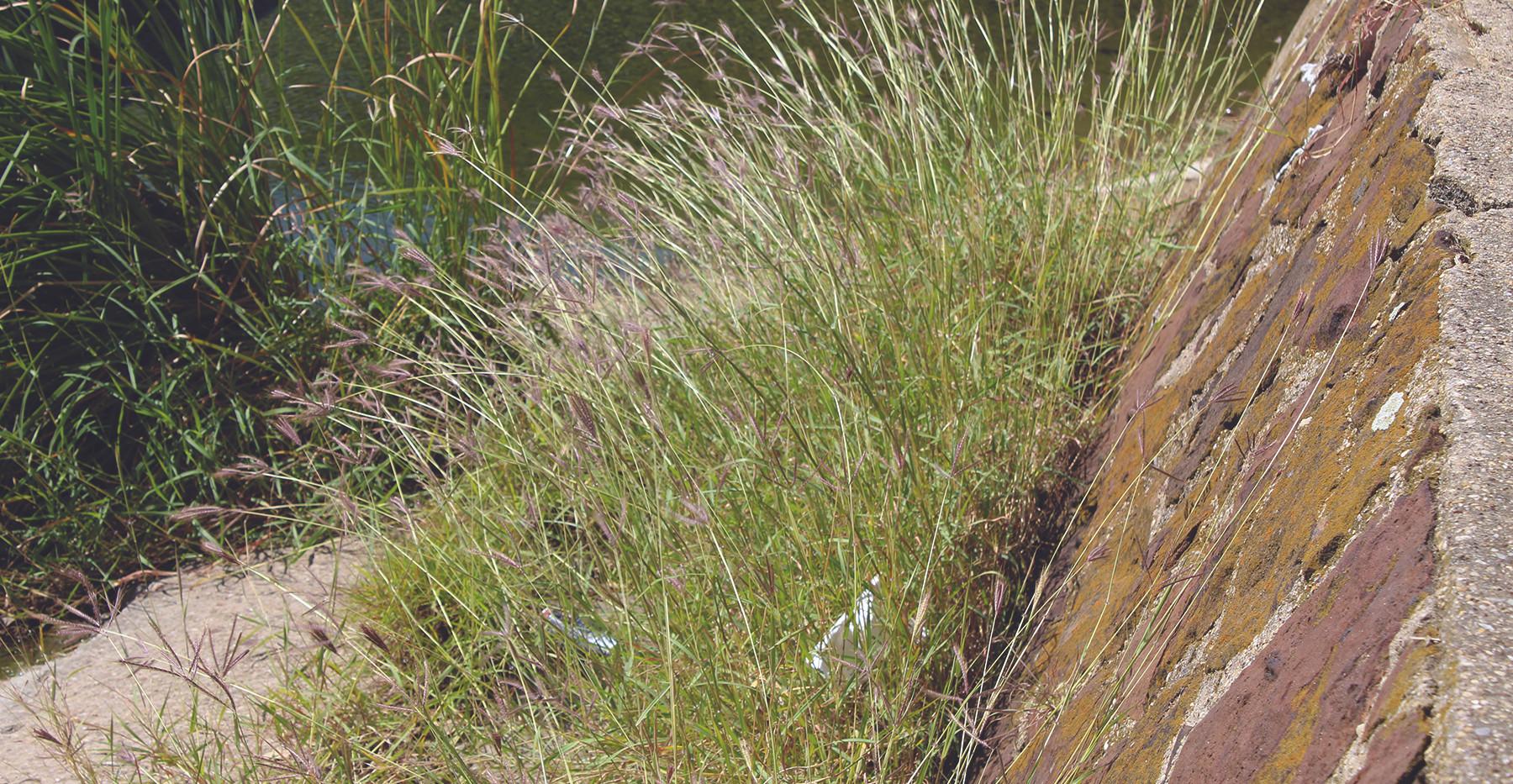 King Ranch Bluestem, Invasive Grass, Abundant in Denton County