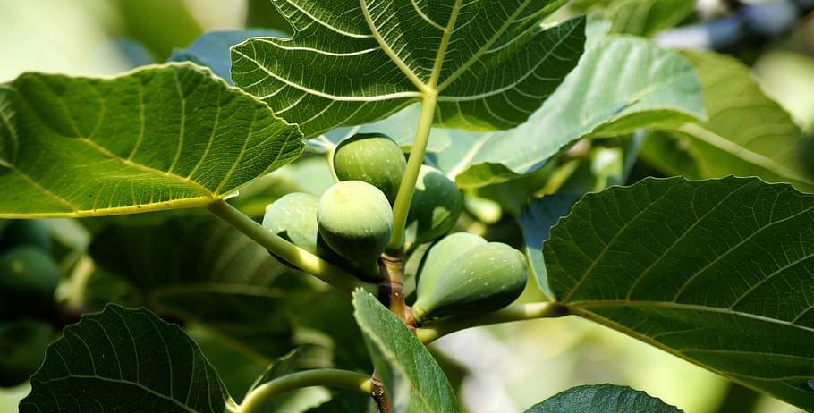 Vijgenboom, Ficus Carica