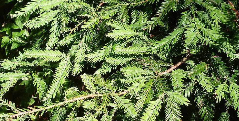 Kustmammoetboom, Sequoiadendron Sempervirens