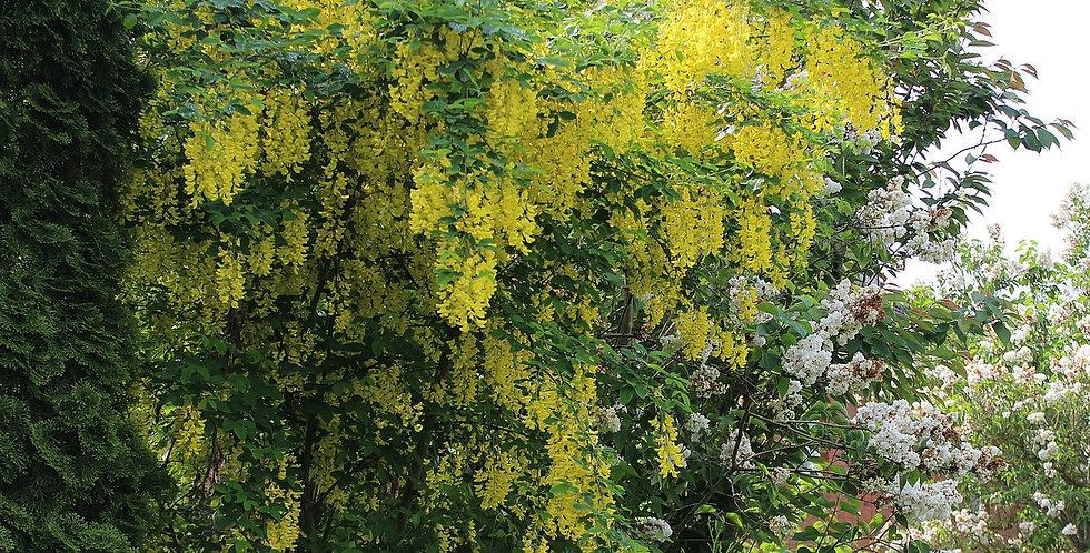 Gouden Regen, Laburnum Anagyroides