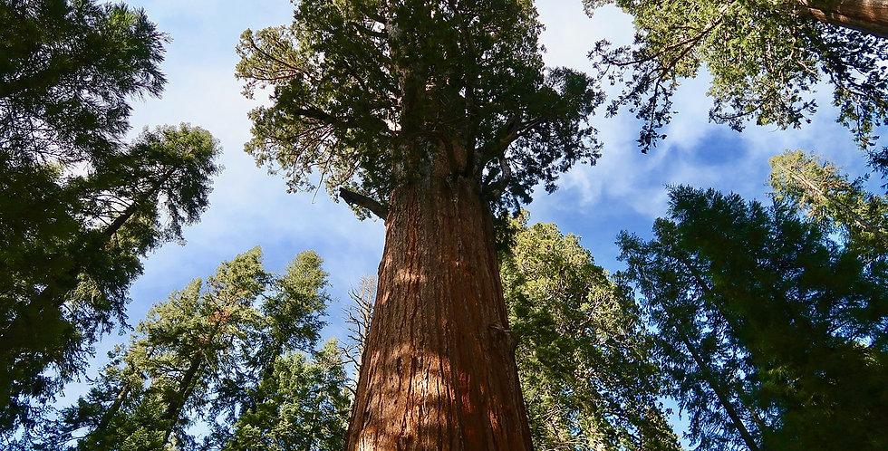 Mammoetboom, Sequoiadendron Giganteum