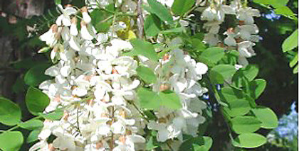 Valse Acacia, Robinia Pseudoacacia
