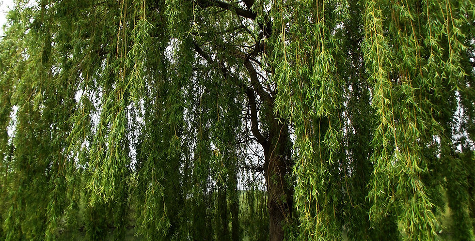 Gele Treurwilg, Salix Sepulcralis 'Chrysocoma'