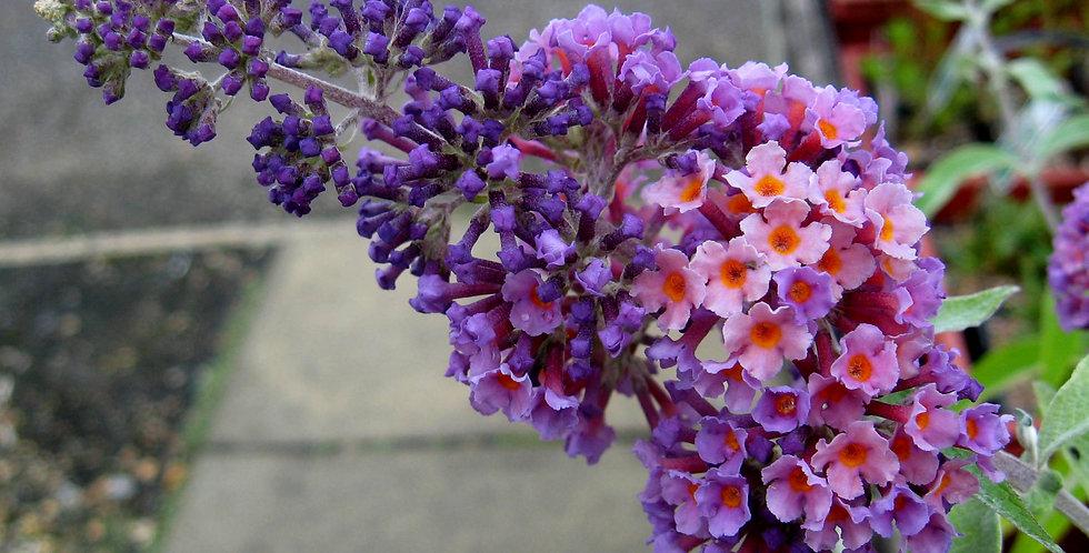 Buddleja 'Flower Power'