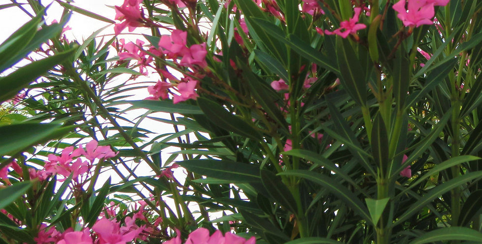 Roze Oleander