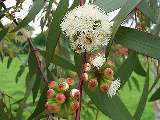 Eucalyptus_pauciflora1.jpg