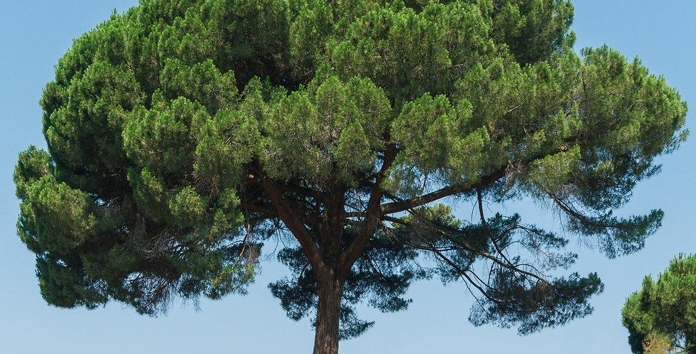 Parasolden, Pinus Pinea