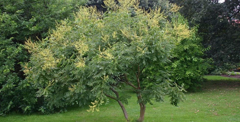 Chinese Vernisboom, Koelreuteria Paniculata