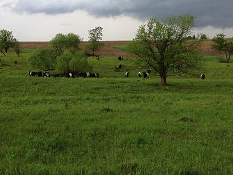 Cattle on Pasture 1.JPG