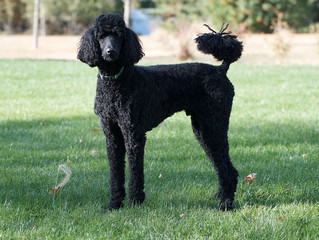 11 Dog Breeds That Don't Shed