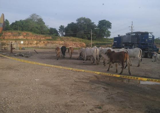 Visita de ganado a un pozo ubicado en el campo petrolero La Cira-Infantas en el corregimiento El Centro, departamento de Santander, Colombia. Octubre de 2019.