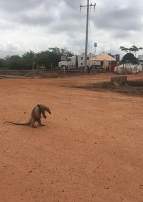 Visita de un oso hormiguero a campo petrolero en el departamento del Cesar, Colombia. 2018.