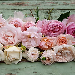 Scented roses, pink roses, peach roses, english roses