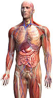 Anatomy of a body for acupuncture