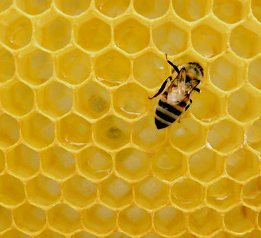 yellow%20bee%20on%20honeycomb_edited.jpg
