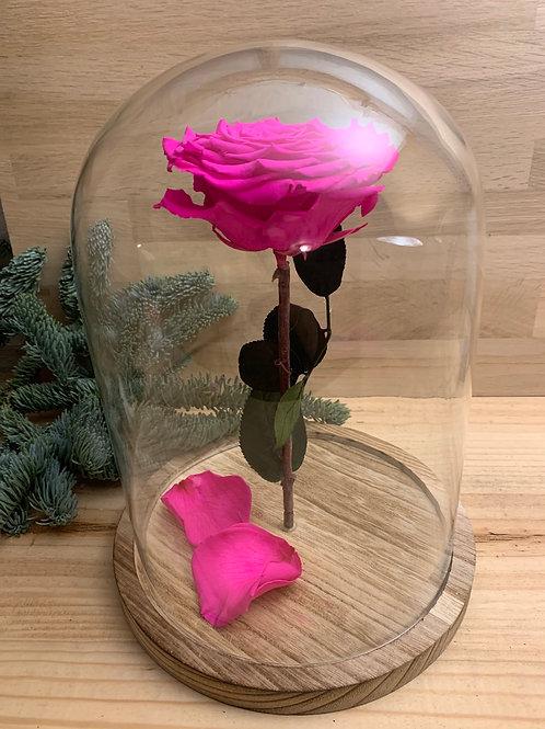 Rose eternelle #31