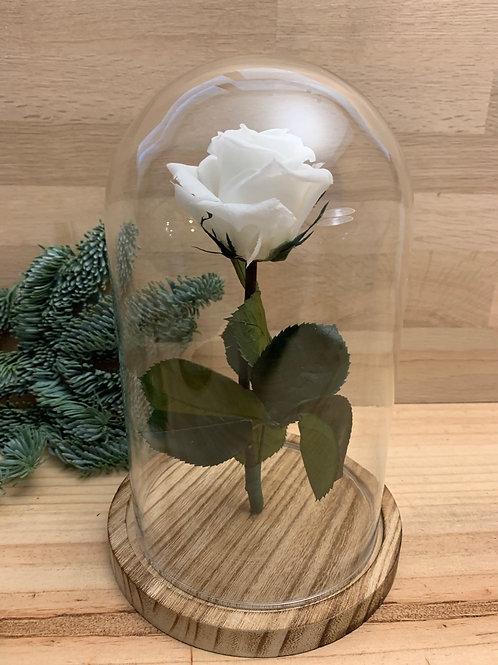Rose eternelle #43