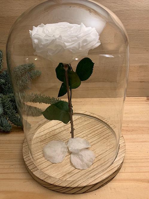 Rose eternelle #27