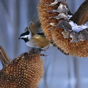 Fast Food/Chickadee