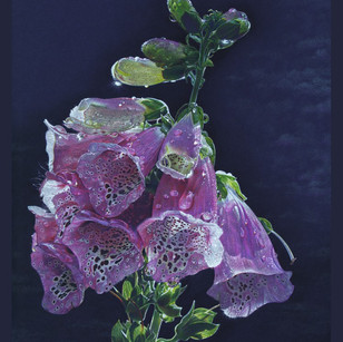 Foxglove Morning