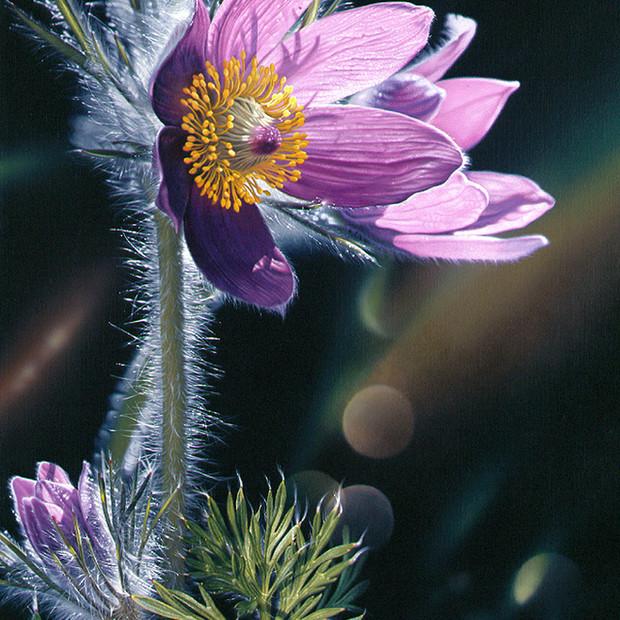 Pasqueflower/Spring at Last