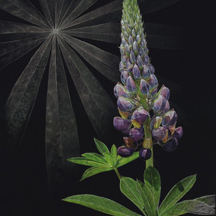 Illuminated Lupine