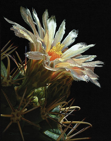 Pima Pineapple Bloom