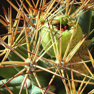 Pima Pineapple Fruit