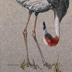A Fresh Perspective/Sarus Crane