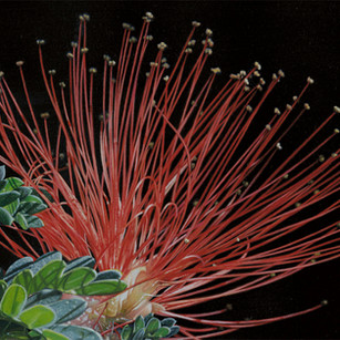 Mimosa Fireworks