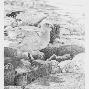 Washington Island Friend/Gull