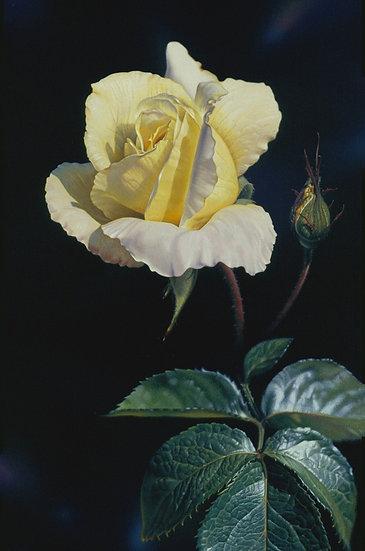 Rose Grace