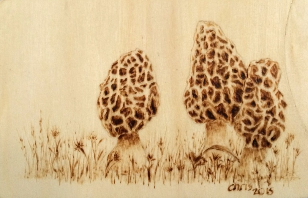 3 Morels in the Grass