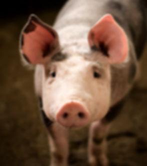 pig fauna-2713066_1920_edited_edited_edited.jpg