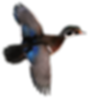 Wood duck flying2.png