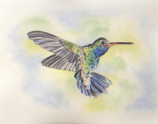 Green Violet-Eared  Hummingbird