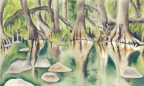 Carolina mangrove