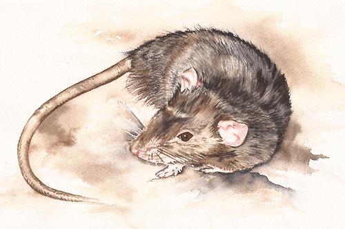 Clinton the rat