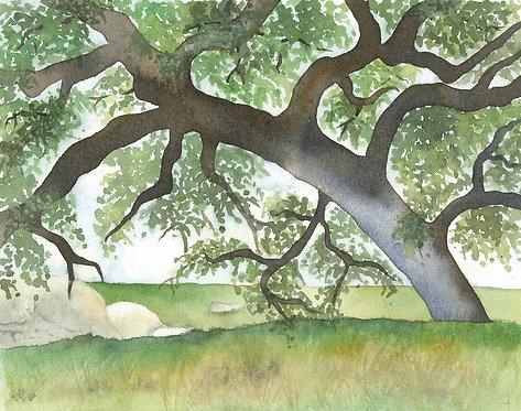 California Engleman Oak