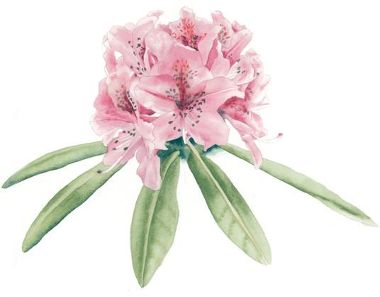 Pink Blossum
